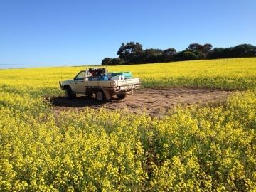 Crop damage - Feeding damage to canola crop near Murdinga, Eyre Peninsula, 2013