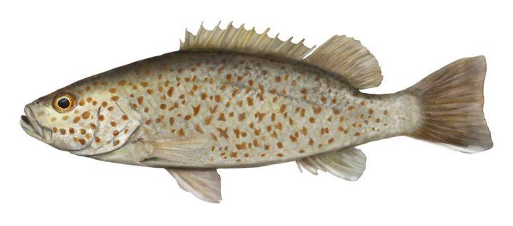 Spangled Perch