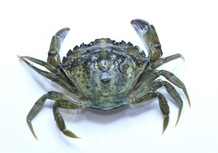 European Green Shore Crab (<i>Carcinus maenas</i>)