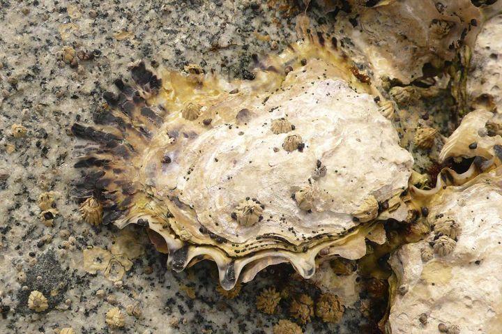 Wild Pacific Oyster (<i>Crassostrea gigas</i>)