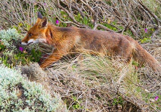 Feral fox running through South Australian native vegetation