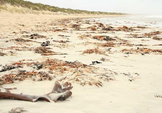 Image of seaweed on a beach.