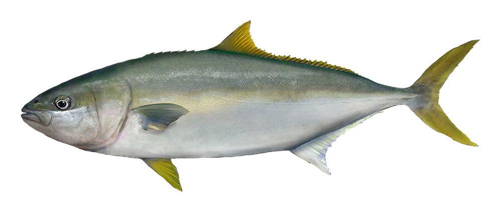 Yellowtail Kingfish - PIRSA