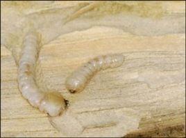 European House Borer beetle larvae
