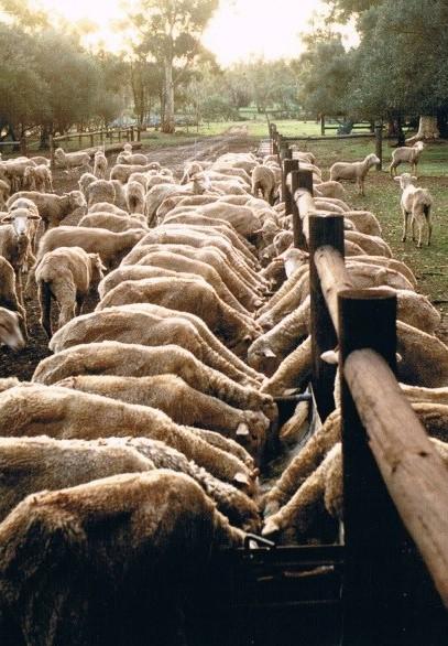 A sheep feedlot near Jamestown in the 1980s.