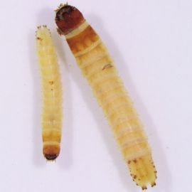 True wireworm larvae, showing flattened head and rear dorsal plate