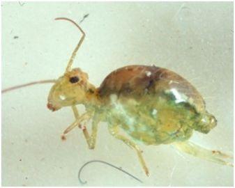 Lucerne flea adult