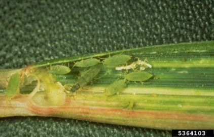 Colony of Russian wheat aphids (Diuraphis noxia) in a wheat leaf. Frank Peairs, Colorado State University, Bugwood.org