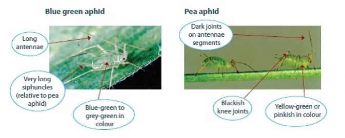 Blue green aphid and Pea aphid