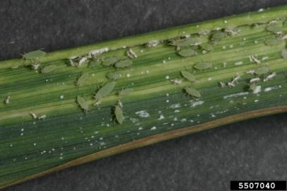 Russian wheat aphid (Diuraphis noxia). Phil Sloderbeck, Kansas State University, Bugwood.org