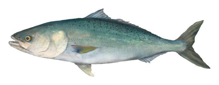 Salmon (Western Australian)