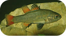 Sth_Pygmy_Perch