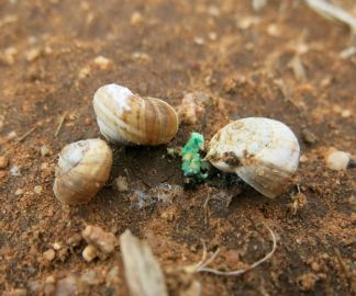 Snails dying after consuming bait (image: Helen Brodie)