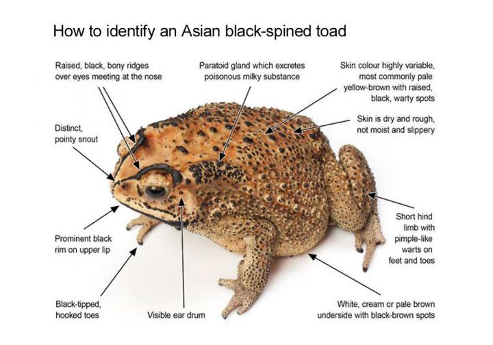 Asian black-spined toad (<i>Duttaphrynus melanostictus</i>)