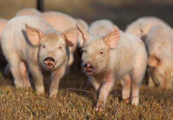piglets walking