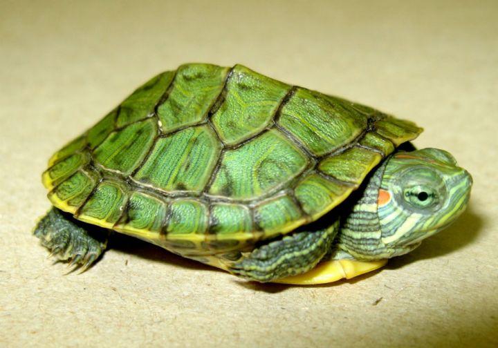Red eared slider turtle (<i>Trachemys scripta elegans</i>)