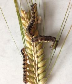 Native budworm on barley, Cleve.